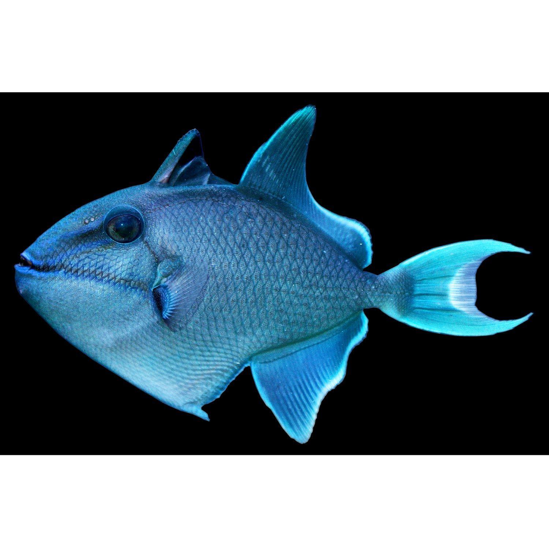 Odonus Niger Trigger For Sale Order Online Petco In 2020 Petco Niger Fish Pet