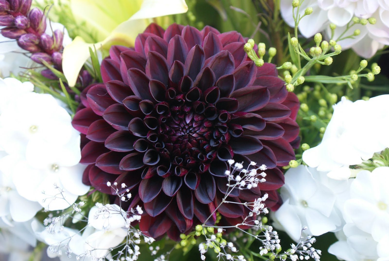 It S A Colorful Life Flower Power Dahlia Flower Fragrant Flowers Flower Seeds