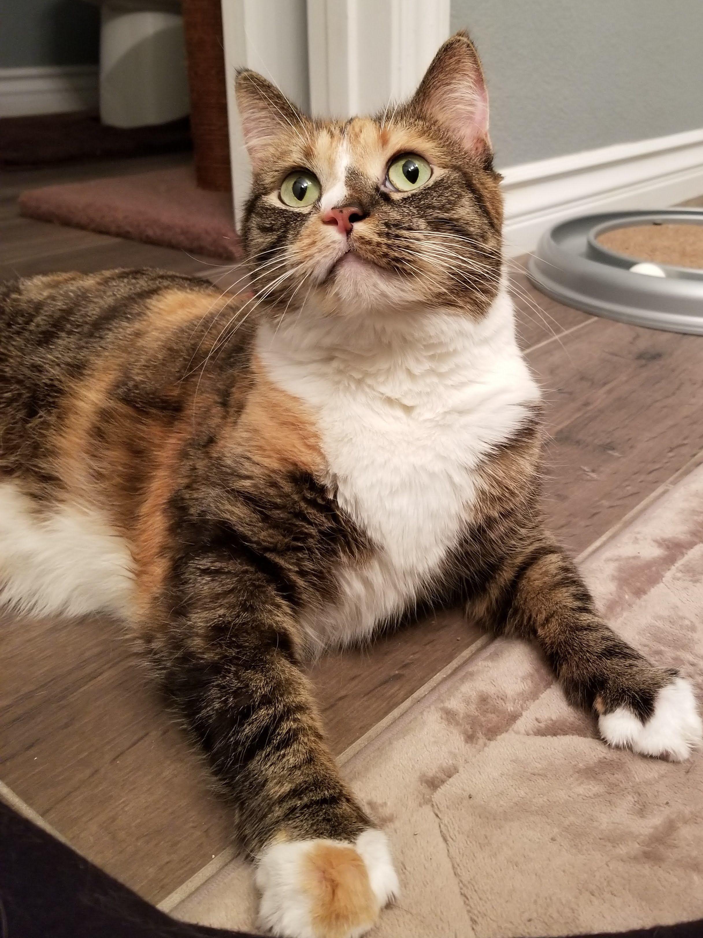 Adopt Boomer On Cat Adoption Help Homeless Pets Cats