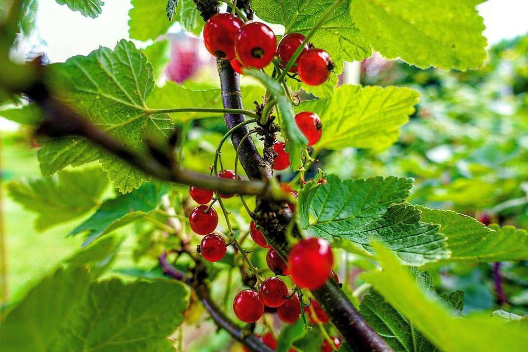 'Round Rubins' June 29 2016  die Johannisbeere(n) currant(s)  Both nostalgia and something that's still happening every year: Harvesting red currants in my grandparents' garden.   And another great thing: I'll be able to watch today's quarter final with Germany vs Italy! :D  #photography #fotografie #picoftheday #diewocheaufinstagram #instagood #instadaily #neverstopexploring #nature #natur #germany #deutschland #lifeingermany #currant #johannisbeeren #food #foodporn #delicious #tasty…