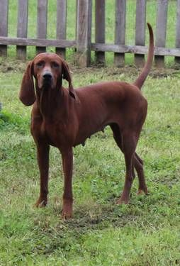 Redbone Coonhound Photo Dogs Puppies 1 2 Of 2 Ads For