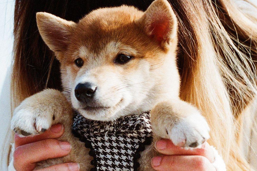 Shiba Inu Shiba Inu style Pinterest Animal, Dog and