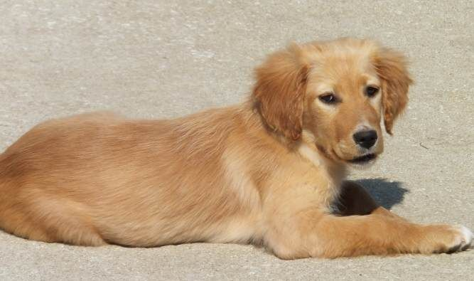This Is Daisy A 4 Month Old Golden English Setter Mix She Is