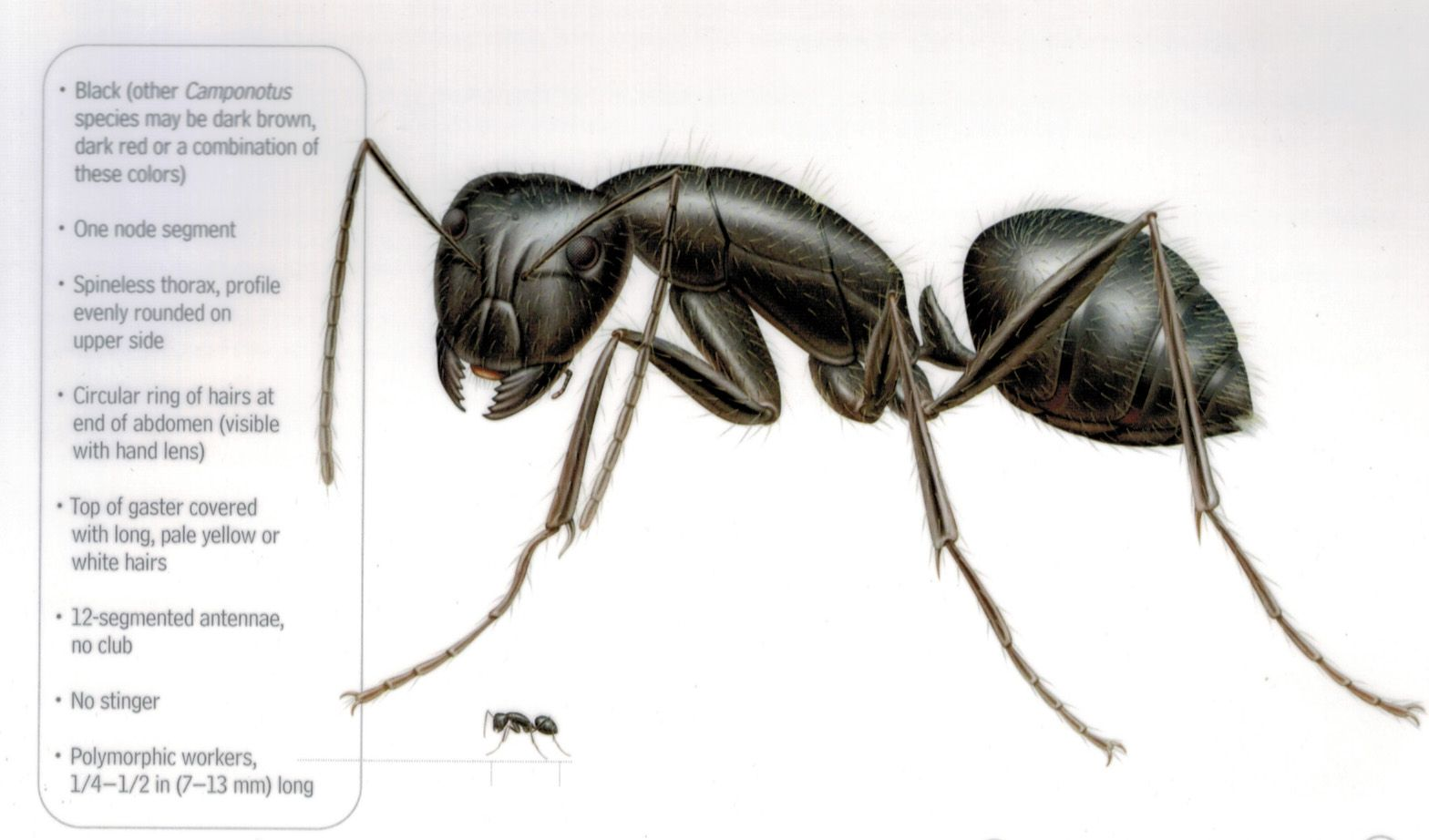 CARPENTER ANTSNests usually originate in moist, decayed