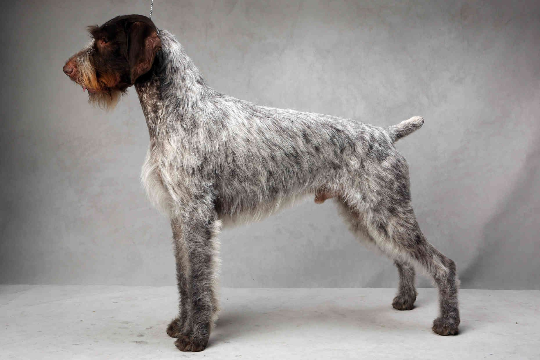 Westminster\'s Best of Breed | Pointers, German and German wirehaired ...