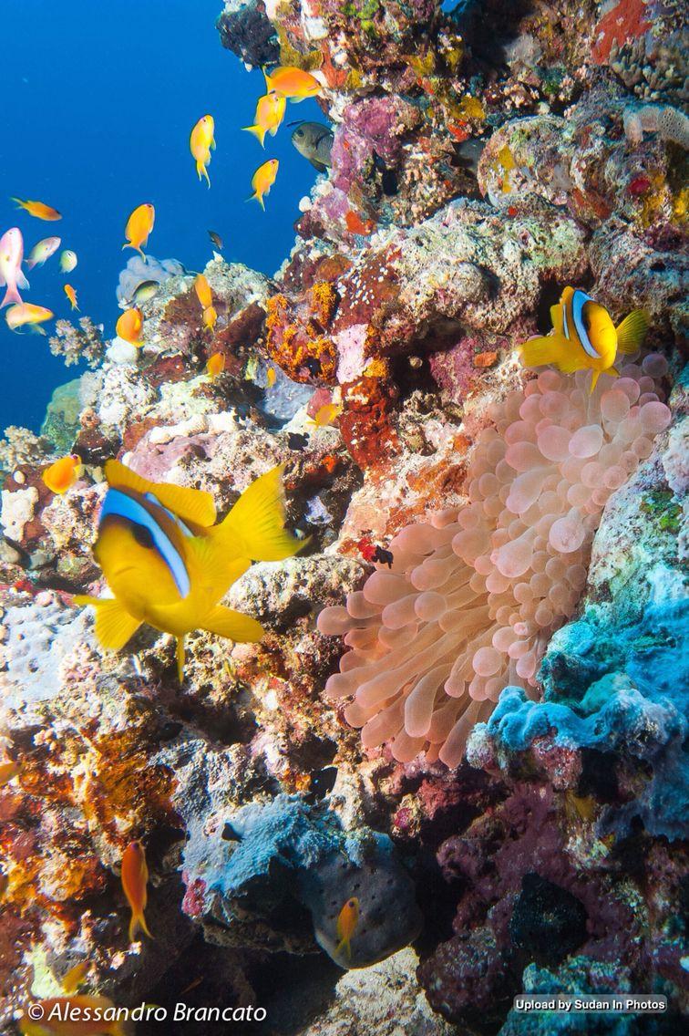 The Beauty Of Diving In The Red Sea In Port Sudan جمال الغوص في البحر الأحمر في بورتسودان By Alessandro Brancato Sudan Original Artwork Artwork Fish Pet