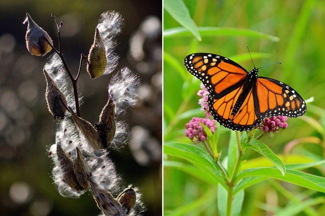 Playing God in the Garden Milkweed plant, Wildlife