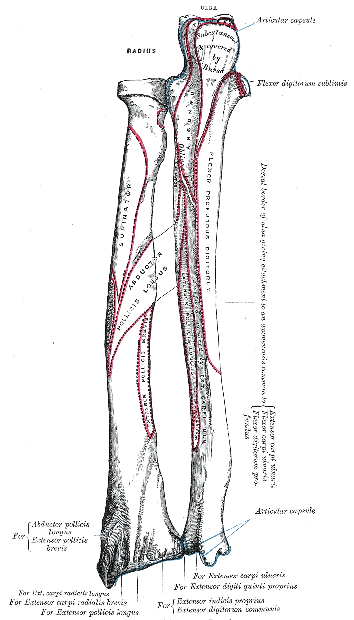 Lower arm | FOREARM ANATOMY | Pinterest | Arm bones, Anatomy and ...
