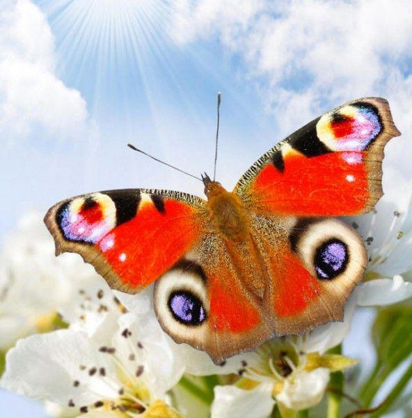 Метелики на картинках і фото, описи і назви метеликів. (с ...