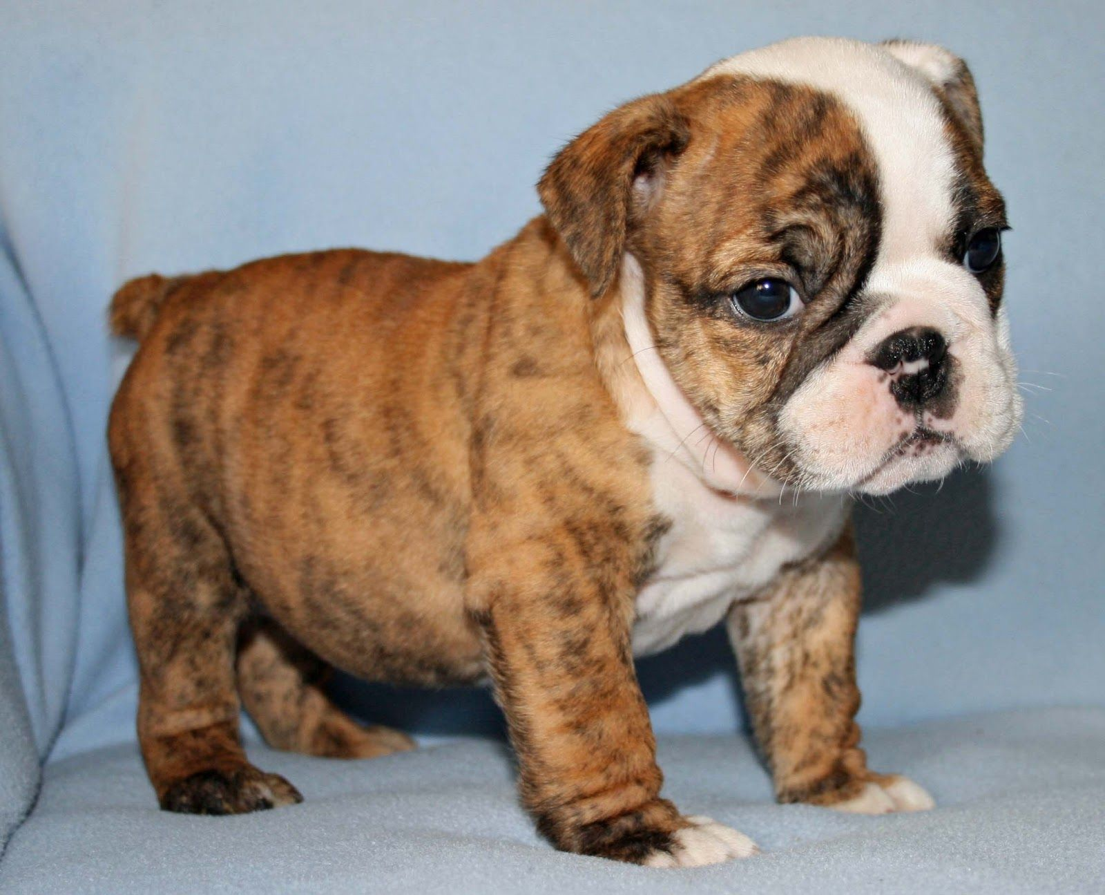 14 List Different Types Of Bulldogs Breeds Bulldog Breeds