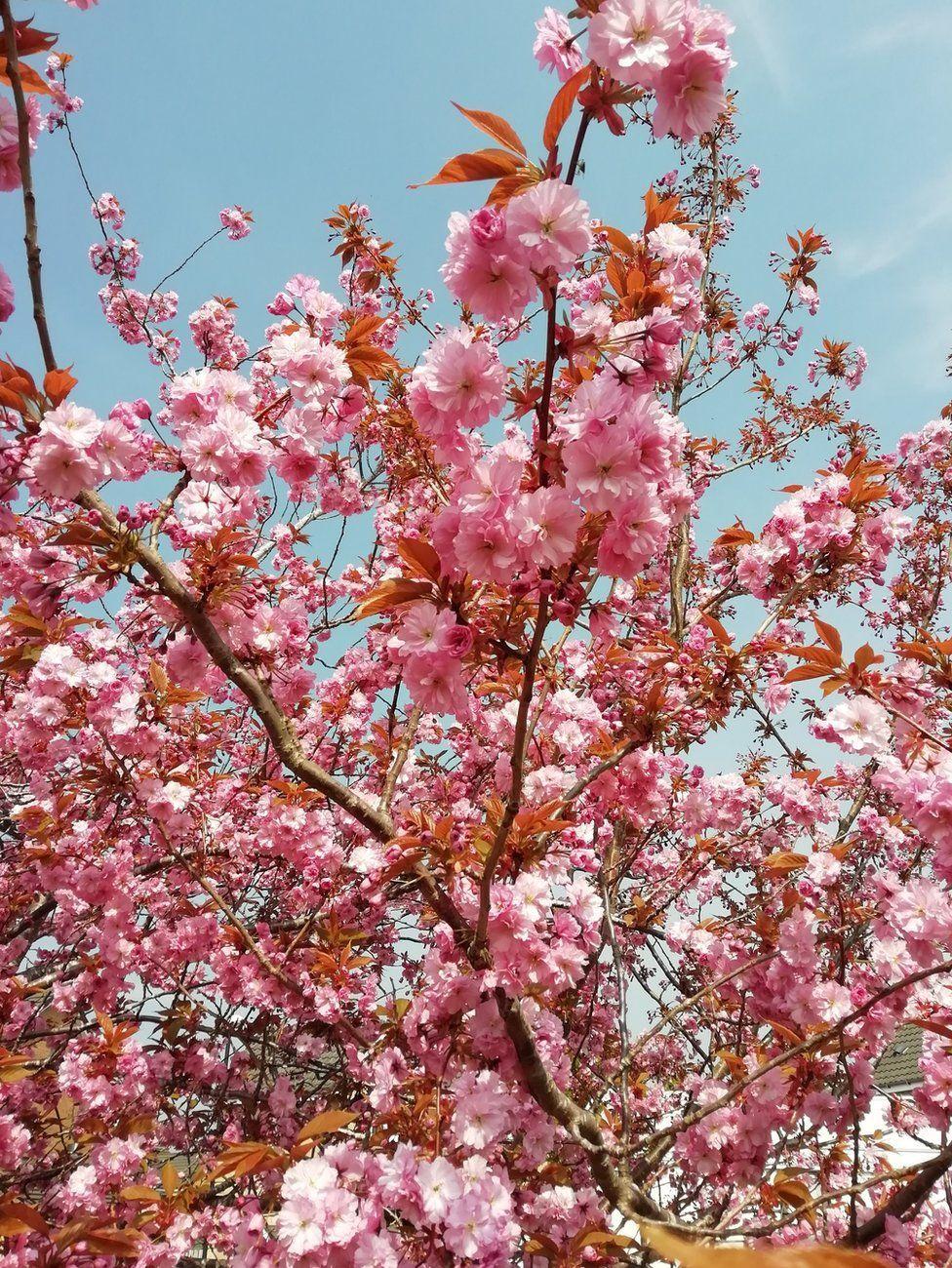 Blooming Seasons Of Flowering Cherry Trees