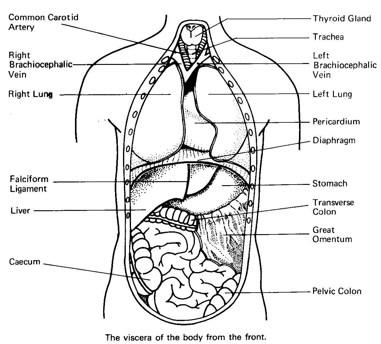Anatomy Coloring Pages Human Organs Coloring Page Anatomy Coloring Pages Coloringsuite Albanysinsanity Com Anatomy Coloring Book Human Body Organs Human Body Printables
