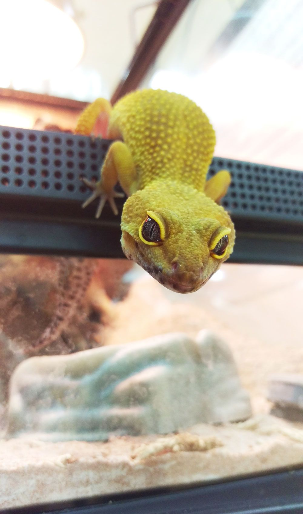 Gecko Selfie 3 Leopard Geckos Are Among The Most Popular Pet Reptiles They Stay Small Are Very Docile And Are Relat Reptiles Pet Cute Reptiles Leopard Gecko