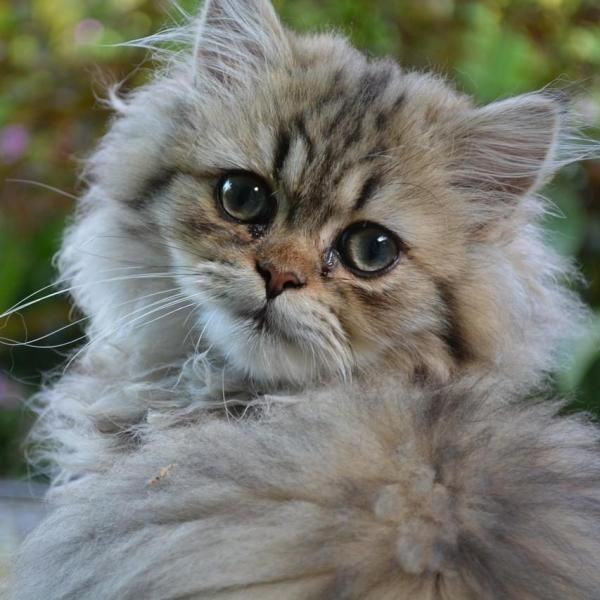 4992d97a4ac8fd2e417cc0c66cf59b48 - How To Get Knots Out Of A Long Haired Cat