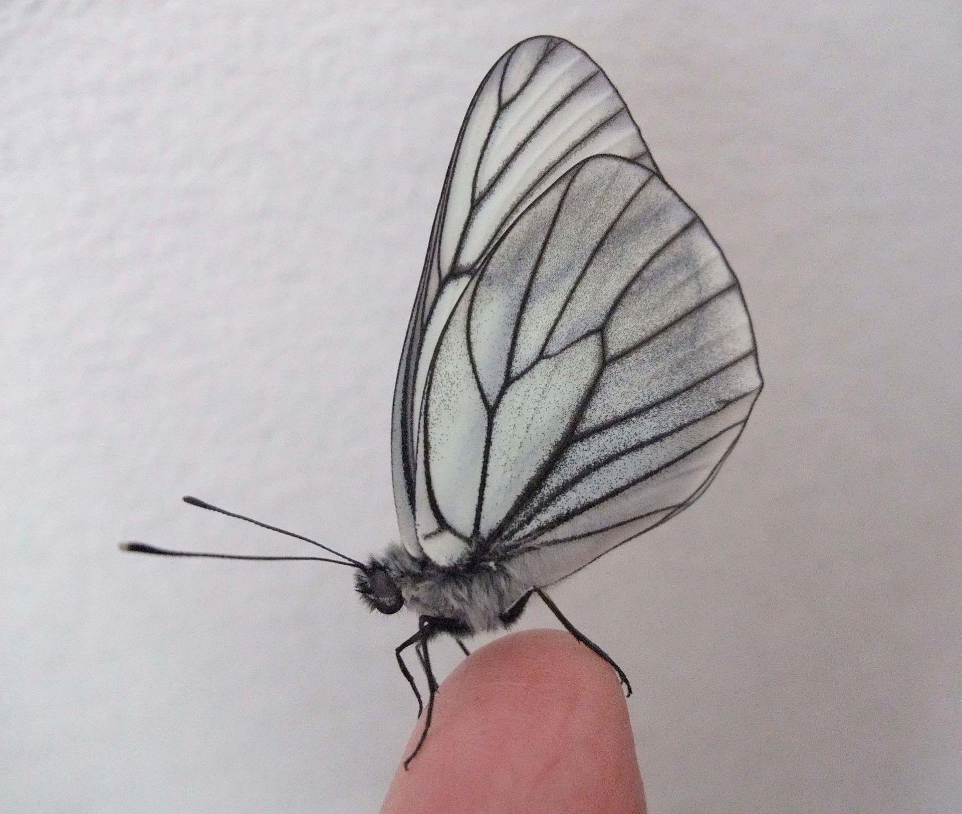 昆虫 羽根 の画像検索結果 セミ