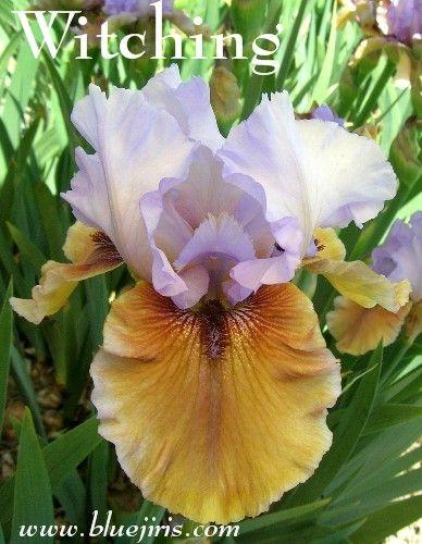 http://www.bluejiris.com/images/JedGarden2/Witching1-12B14.jpg