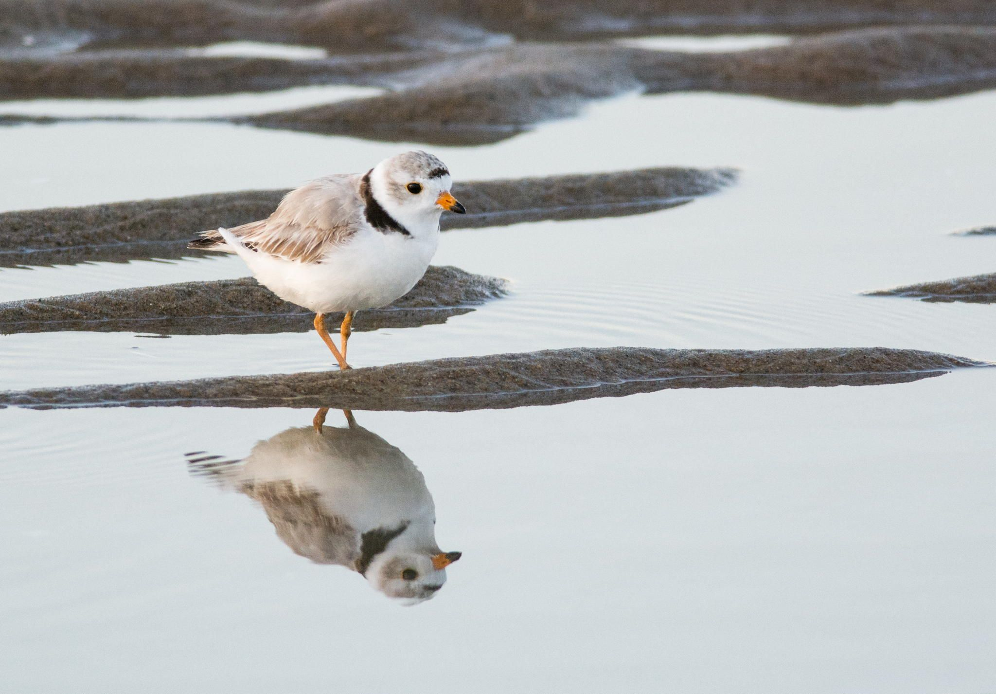 the mighty plover piping plover birds pinterest bird and