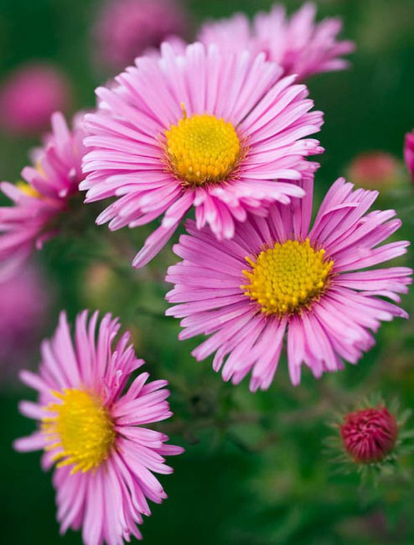 A Tall And Popular New England Aster Variety Rosa Sieger Aster Novae Angliae Features Masses Of Large Delicate Pal Aster Flower Pink Garden Fall Borders