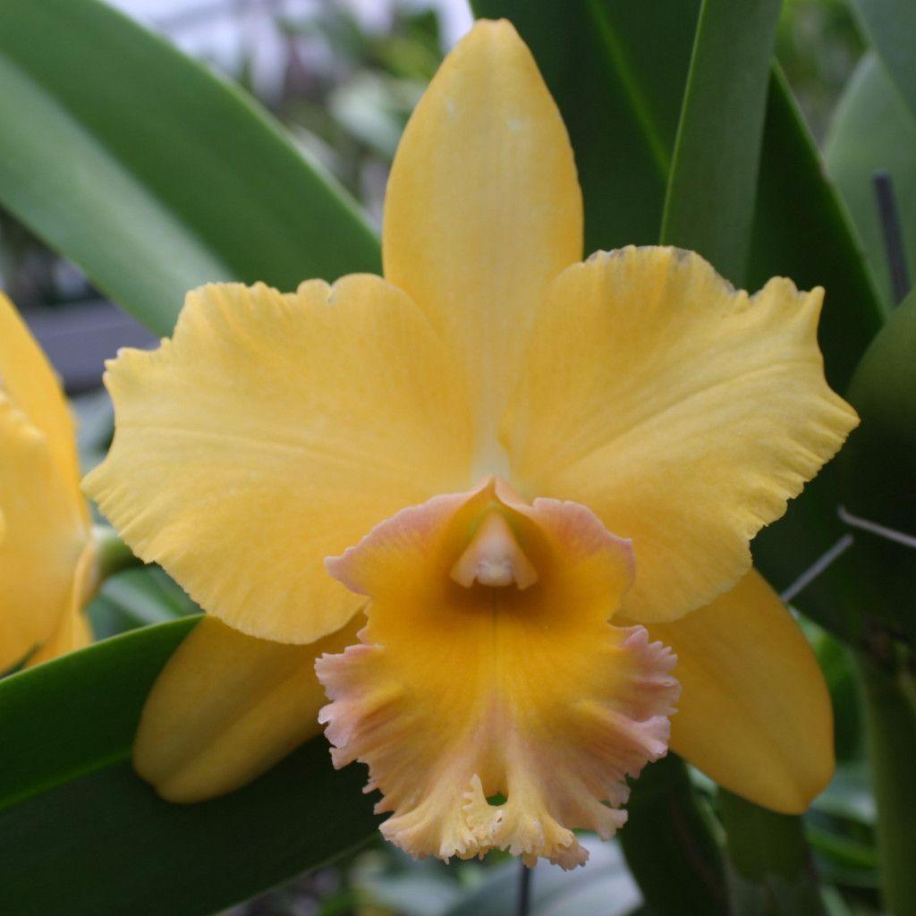 "Blc. Malworth 'Orchidglade' FCC/AOS 5""                                                                                                                                                                                 Mais"