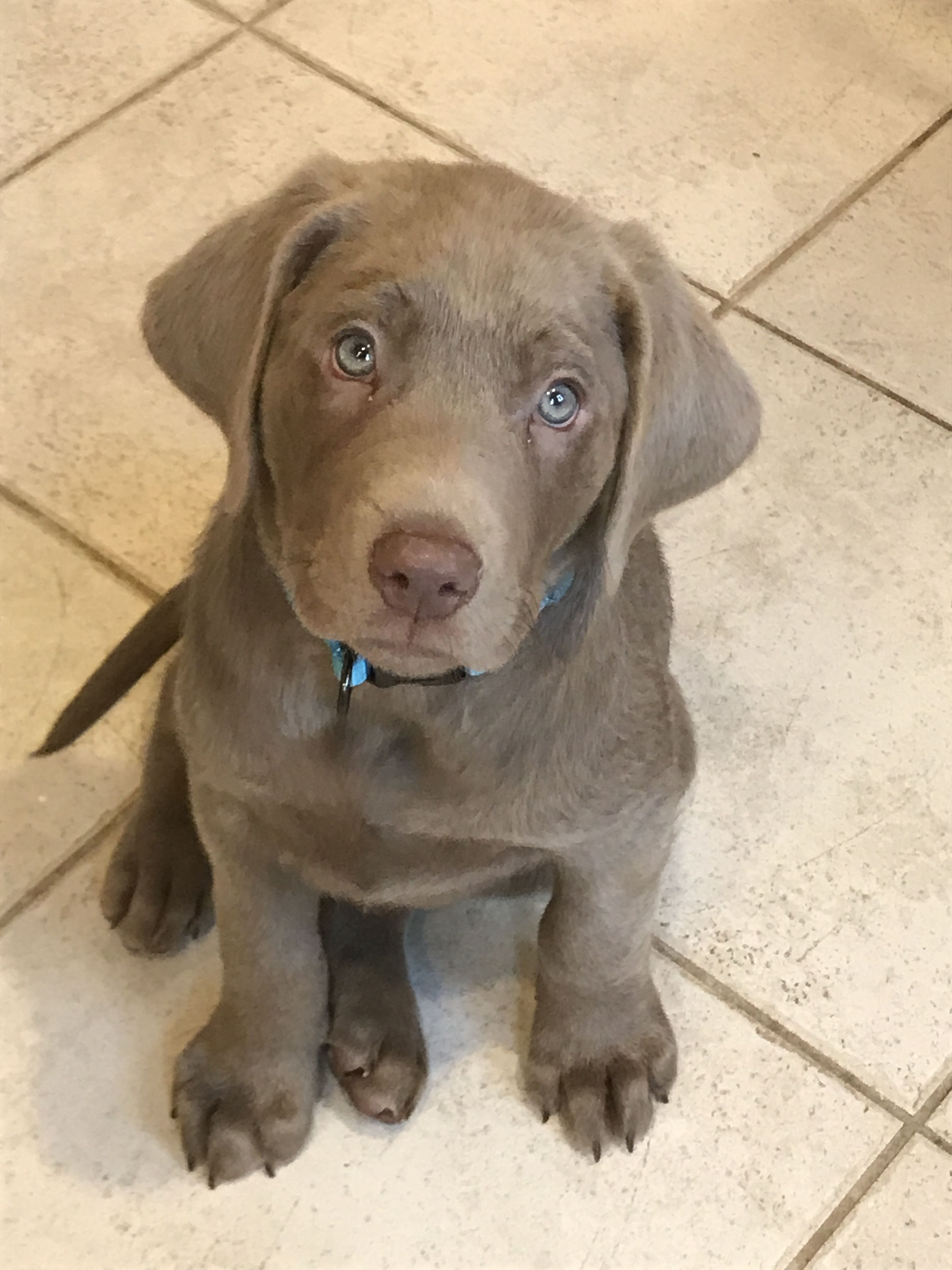 Gandalf The Silver Lab Puppy At 9 Weeks Old Silver Labrador