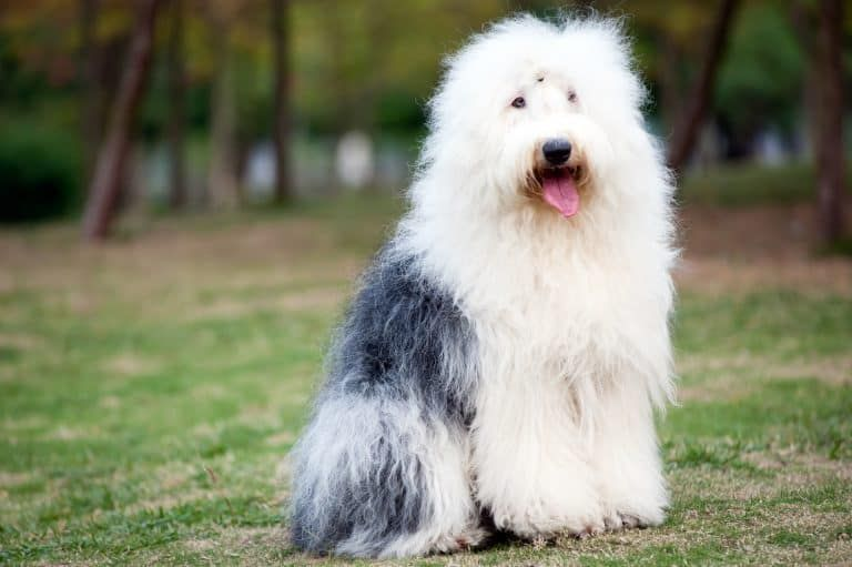 13 Big Dogs That Don T Shed Large Non Shedding Dog Breeds Fluffy Dog Breeds Fluffy Dogs Dog House Air Conditioner