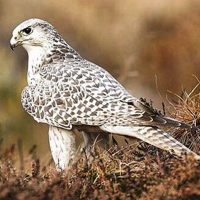 Pin By Abdullah Almorjan On Gyrfalcon 白隼 シロハヤブサ Falconry Animals Bird