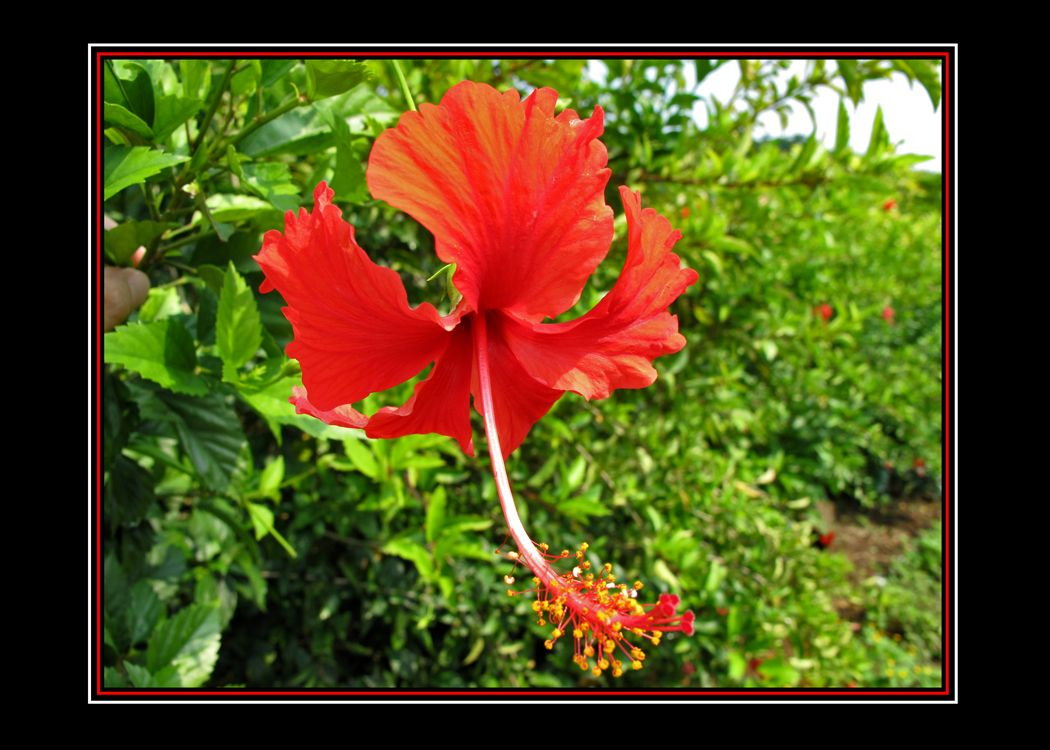 I found this spectacular hibiscus blooming near the shores of lago spectacular hibiscus blooming near the shores of lago escondido hidden lake very near the gulf shore of veracruz you can buy bags of the dried flower izmirmasajfo
