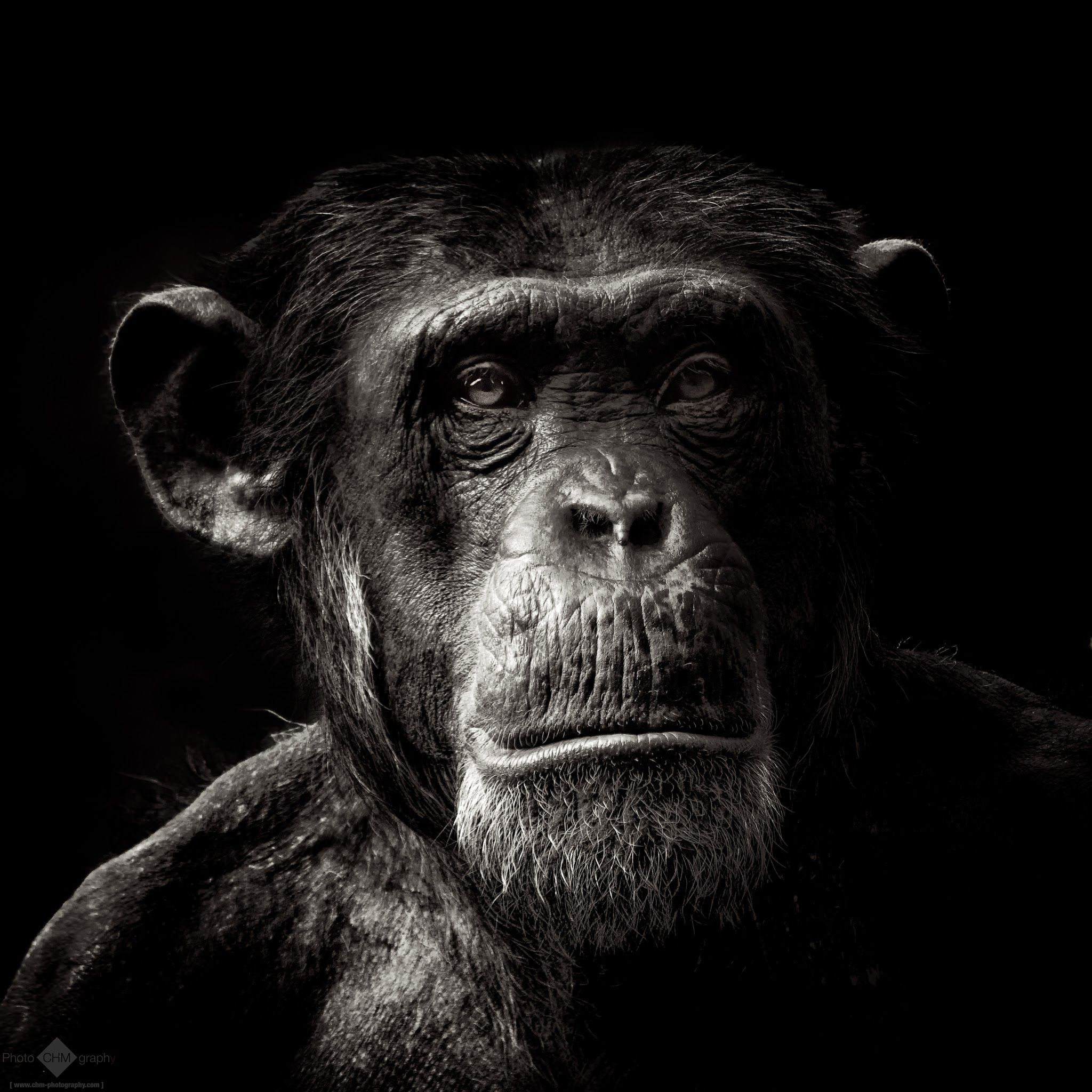 Chimpanzee pictures chimpanzees are all black but - Chimp Christian Meermann