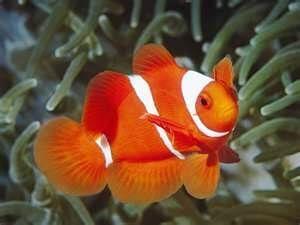 Clown Fish Orange Fish Clown Fish Beautiful Fish