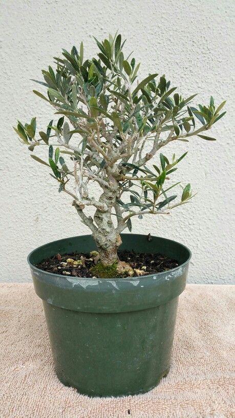 Picture 1 I Bought My Fourth Pre Bonsai It S An Olive Tree 3 5 16 Pre Bonsai Bonsai Plants