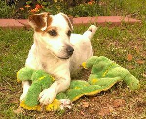 Adopt Debo Wilmington Nc On Petfinder Jack Russell Jack Russell Puppies Jack Russell Dogs