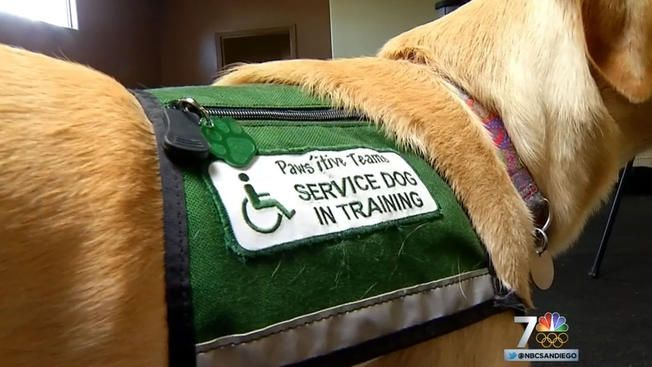The Teacup Poodle In Your Coach Purse Is Not A Service Dog Nbc