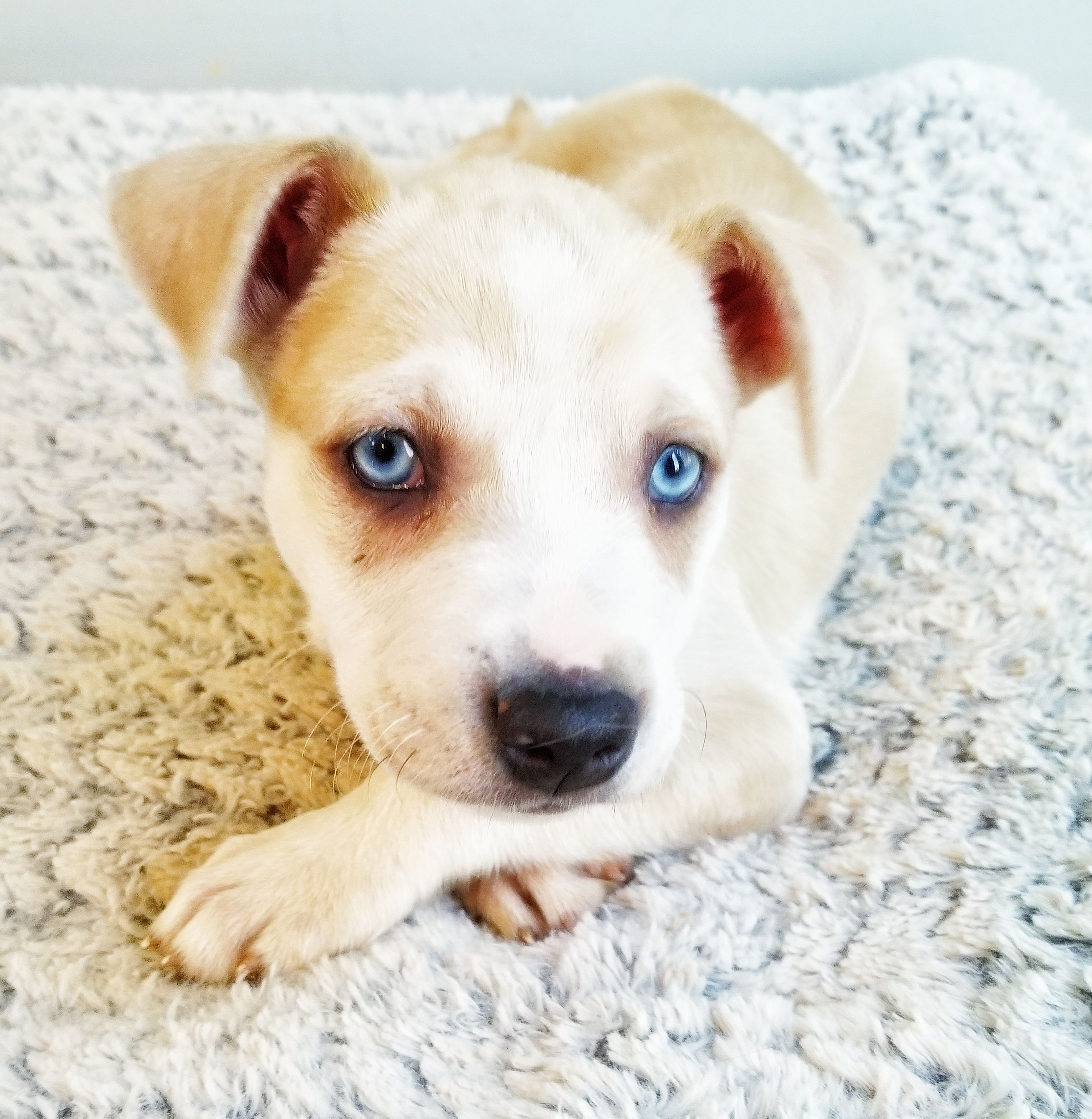 Adopt Padmé on Leopard dog, Baby dogs, Dog search