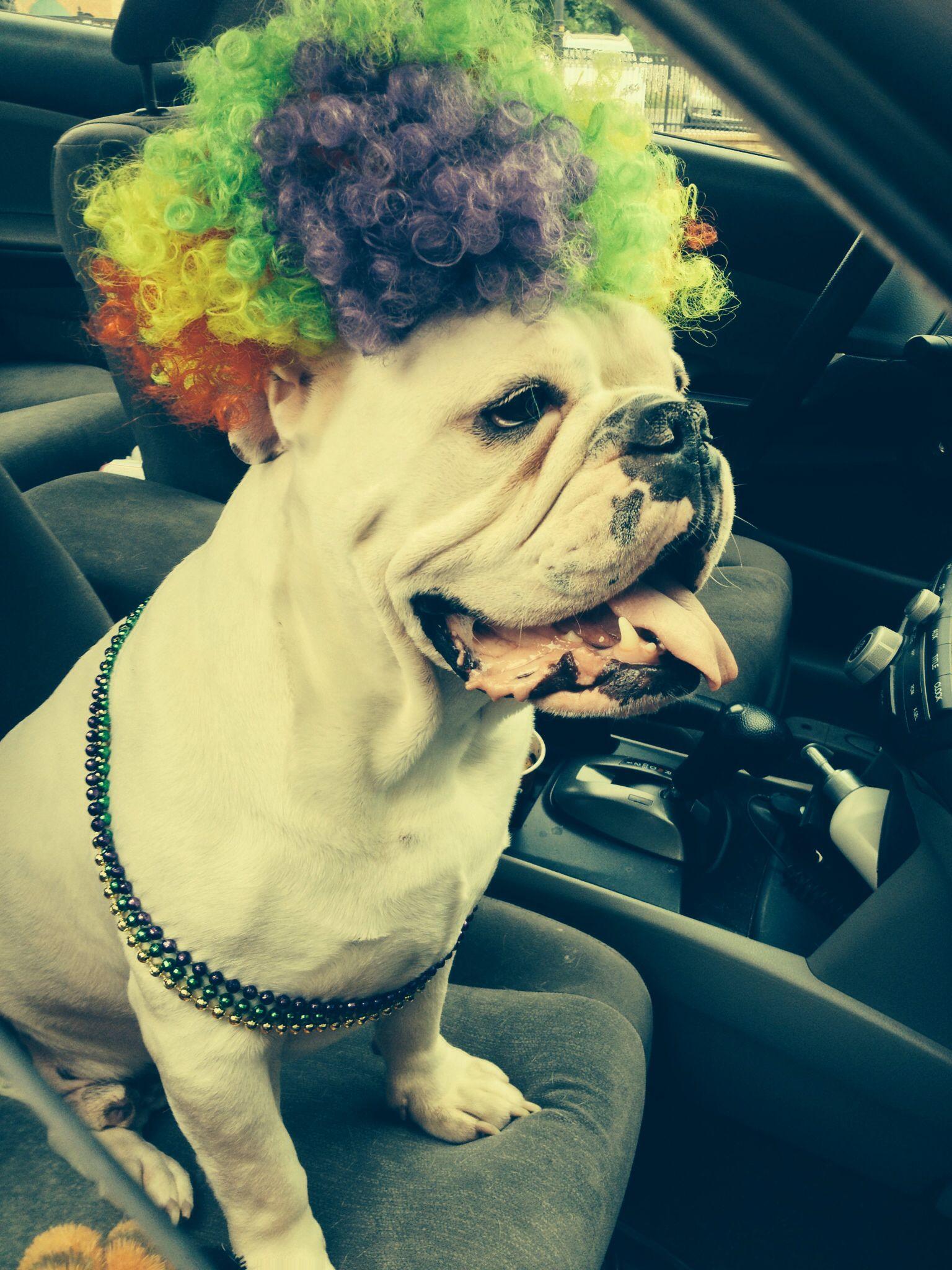 Clownin Around Looks Like Kingsley Ready For A Party Bulldog
