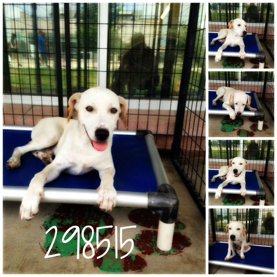 White labrador puppies for sale philippines