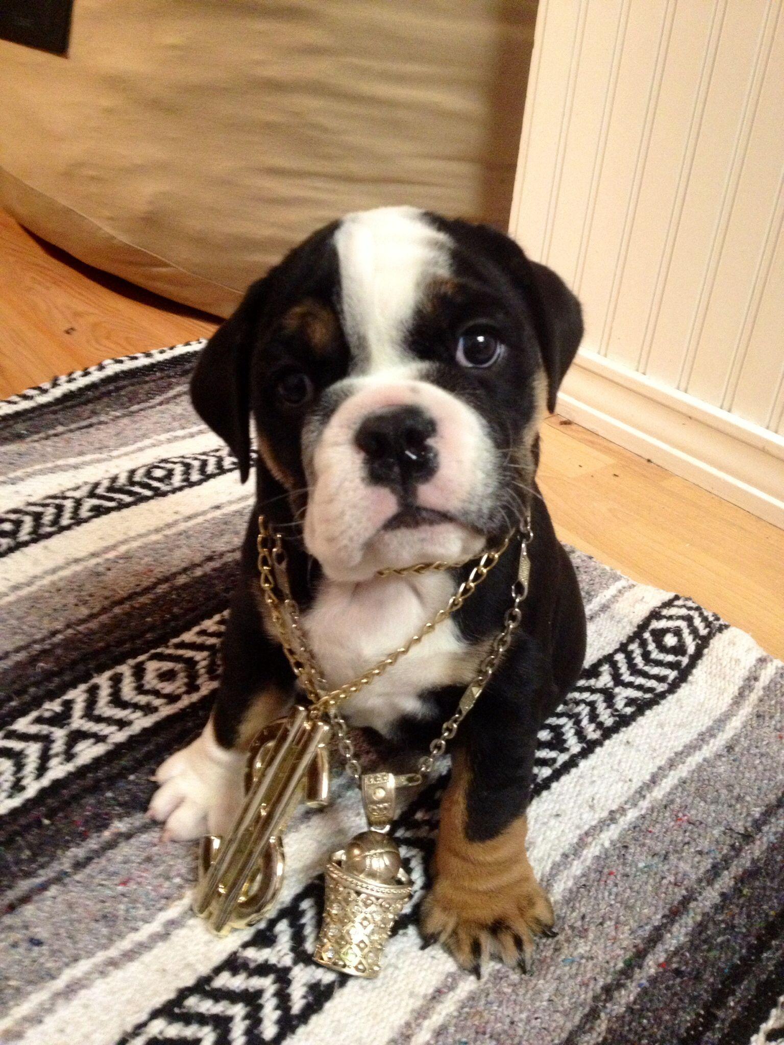 Gangsta Sir Beefy Wellington My English Bulldog Puppy Bulldog