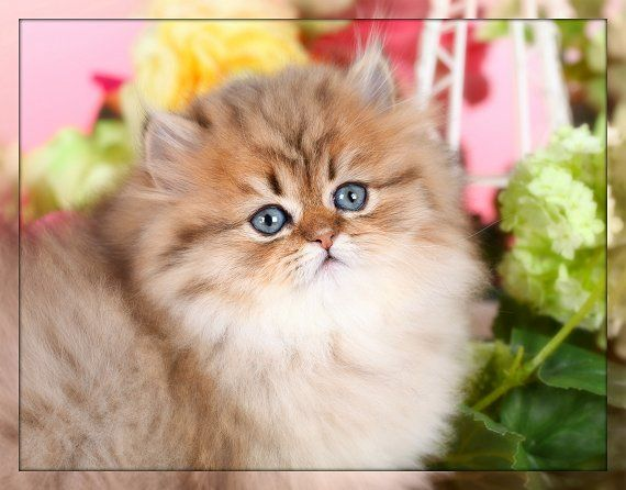Golden Chinchilla Teacup Persian Kitten For Sale Teacup Persian