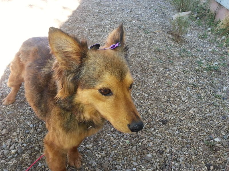 Available for adoption Madison is a female dog, Sheltie