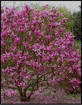 Susan Magnolia Tree Dry Riverbed Ideas Magnolia Susan