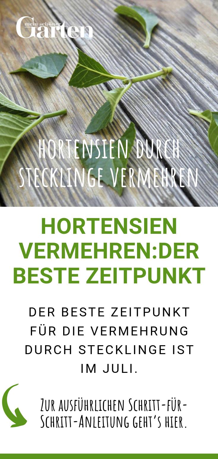 Hortensien durch Stecklinge vermehren: Der beste Zeitpunkt #gemüsepflanzen
