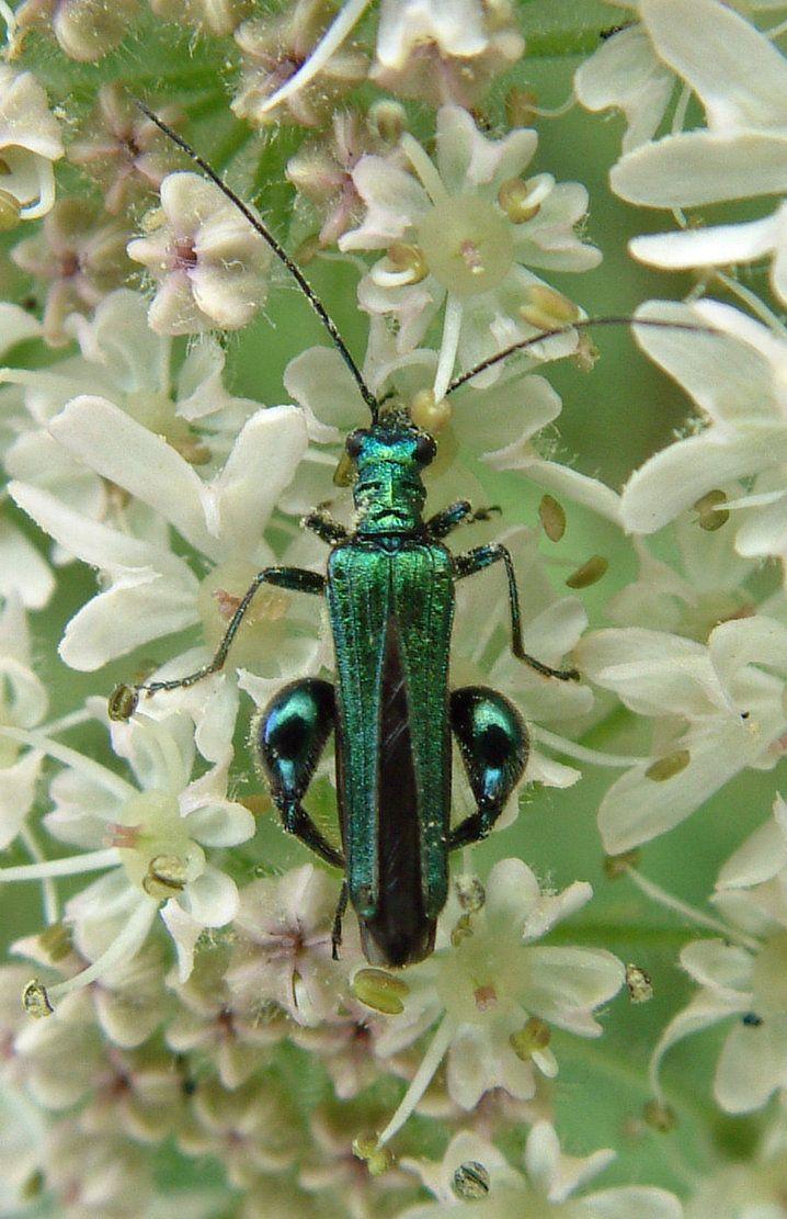 Male flower beetle by ~meyernaise