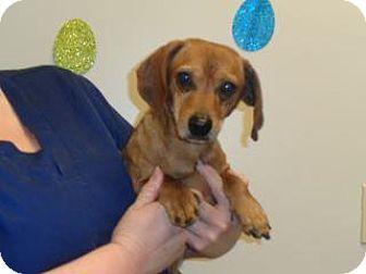 Dachshund Mix Dog For Adoption In Wildomar California Jerry