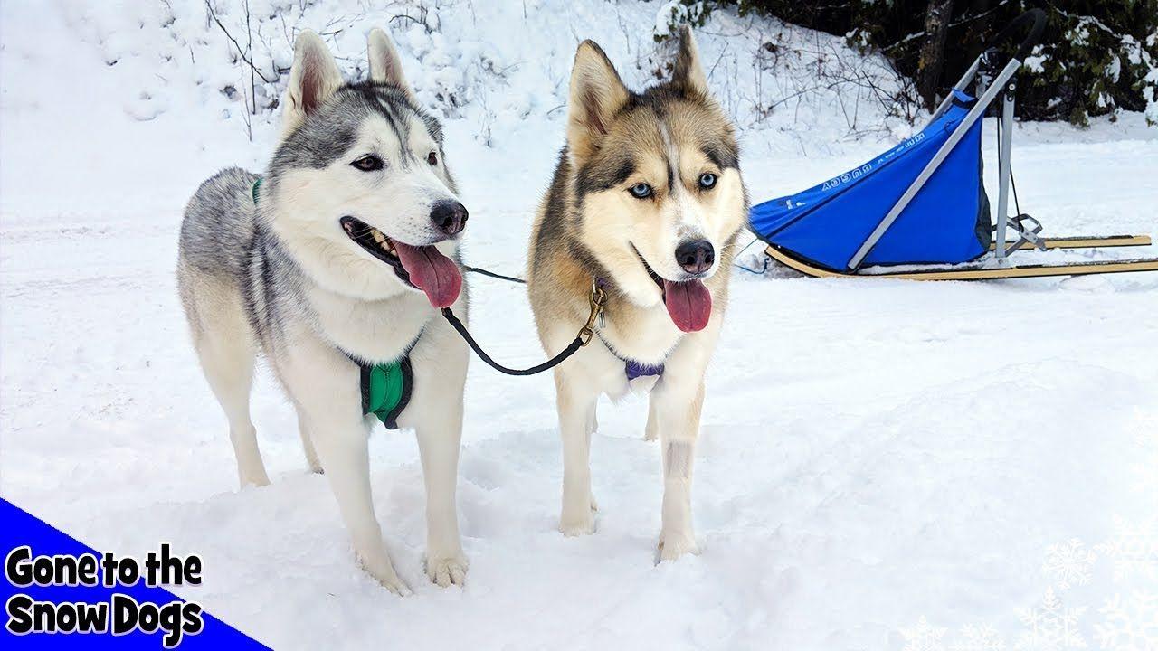 Dog Sledding With My Huskies