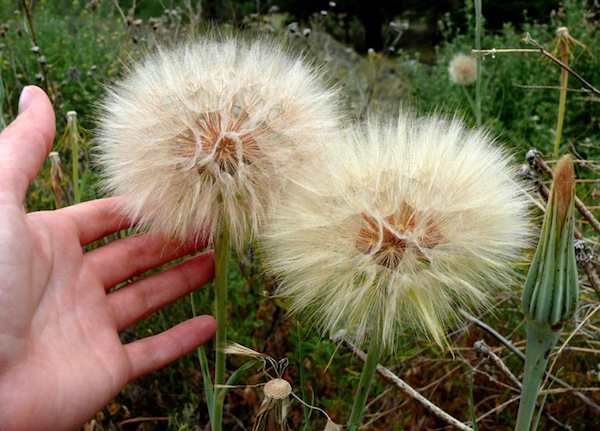 9 Real Life Dr Seuss Plants You Can Have In Your Backyard Plants Trees To Plant Dandelion Flower