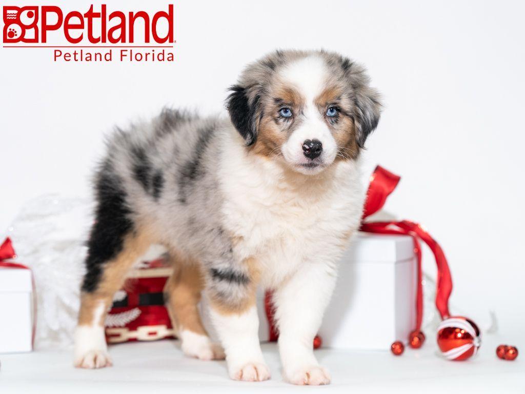 Petland Florida Has Australian Shepherd Puppies For Sale Check