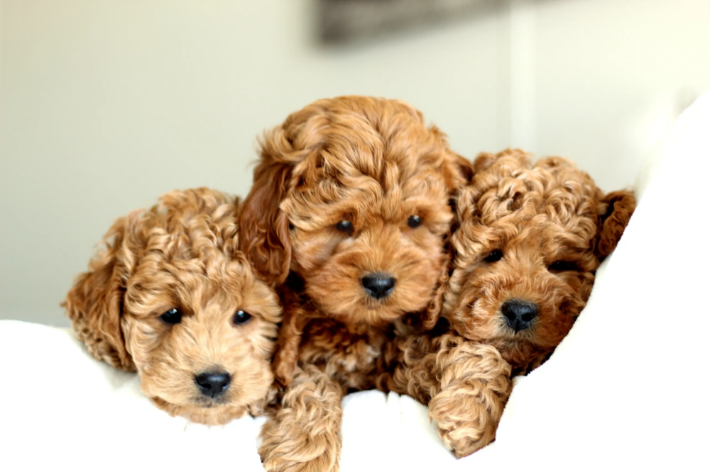 Miniature Goldendoodle Puppies for sale! Small Breeder of