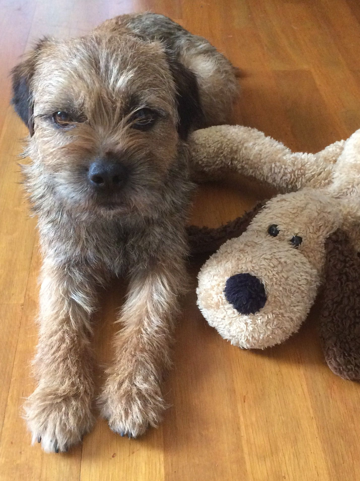 Border Terrier Border Terrier Terrier Dogs Fluffy Puppies