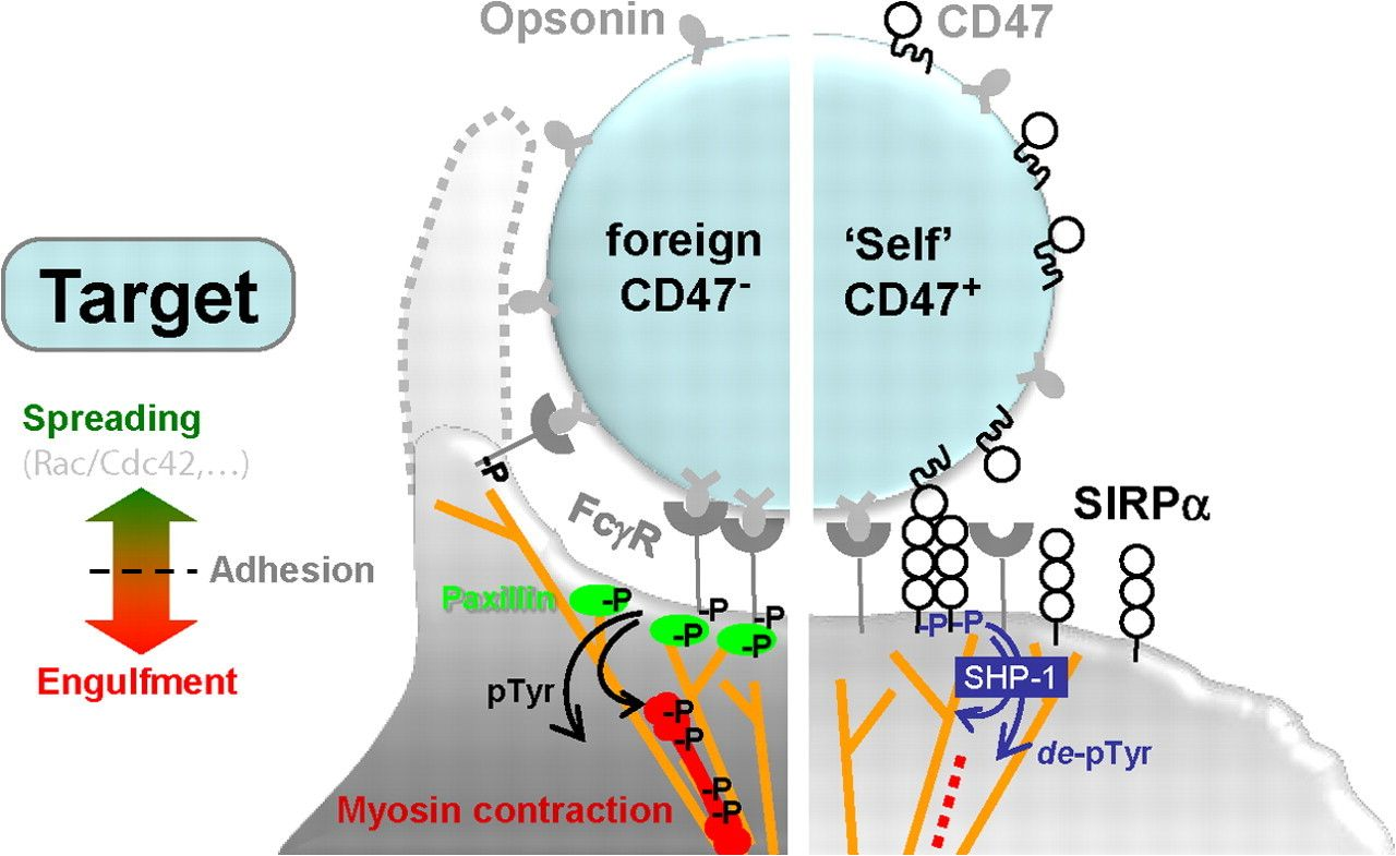 Cd47 Signal Regulatory Protein Alpha Sirpa Interaction Is A Metal Detector Circuit Electronic Circuits And Diagramelectronics Therapeutic Target For Human Solid Tumors