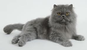 Russian Blue Persian Cat Russian Blue Cat Popular Cat Breeds Cat Breeds