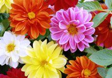 Dahlia Seeds Mixed Mingnon Flower Seeds Flower Seeds Online Beautiful Flowers Pictures